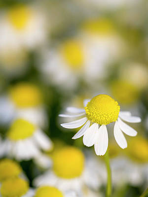Close Up Of Chamomile (matricaria Print by Martin Zwick