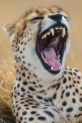 Close-up Of Cheetah Acinonyx Jubatus Art Print