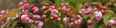 Cherry Blossoms Photograph - Close-up Of Cherry Blossom Buds by Panoramic Images