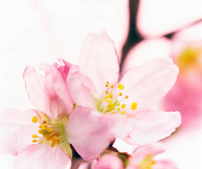 Cherry Blossoms Photograph - Close Up Of Cherry Blossom by Panoramic Images