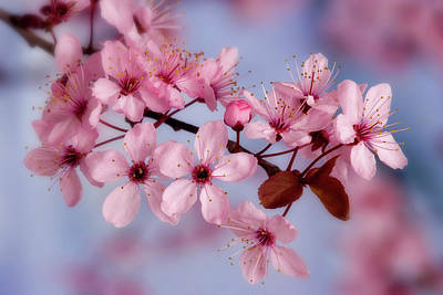 Close-up Of Cherry Blossoms Or Sakura Art Print by Jaynes Gallery