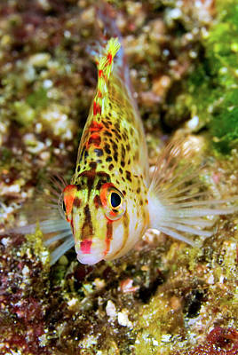Fish Cup Photograph - Close-up Of Colorful Hawkfish by Jaynes Gallery