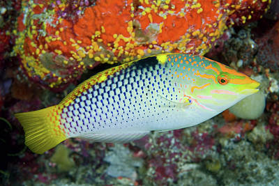 Colorful Tropical Fish Photograph - Close-up Of Colorful Wrasse (labridae by Jaynes Gallery
