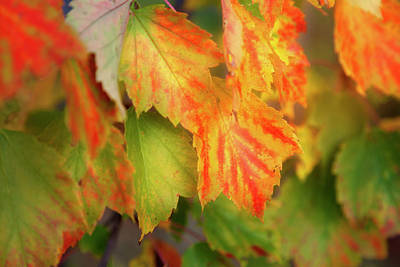 Close Focus Nature Scene Photograph - Close Up Of Colourful Leaves Changing by Jenna Szerlag
