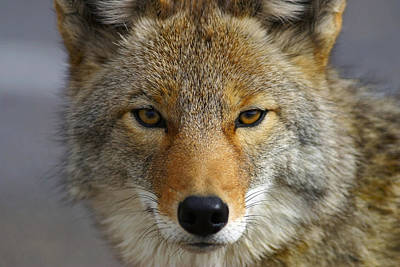 Digital Eye Photograph - Close Up Of Coyote Death Valley by John Delapp