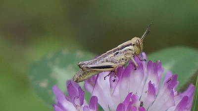Photograph - Close Up Of Cricket On Clover by Dawn Hagar
