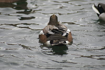 Splashing Etc Photograph - Close Up Of Duck Back by Rob Luzier