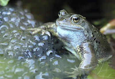 Photograph - Close-up Of Frog With Eggs In Water by Rosemary Laidler / Eyeem