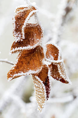 Photograph - Close Up Of Frosted Dried Brown Leaves by Michael Interisano