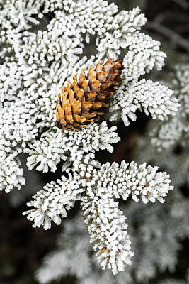 Pine Needles Photograph - Close Up Of Frosted Evergreen Tree by Michael Interisano