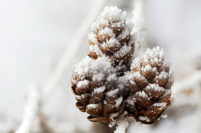 Photograph - Close Up Of Frosted Pine Cones by Michael Interisano