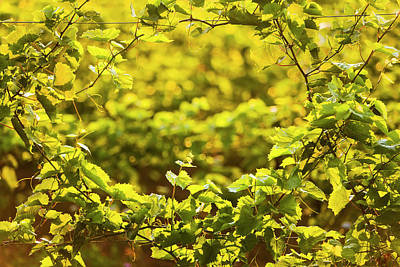Grape Leaves Photograph - Close Up Of Grapes Growing On A Vine by Jim Craigmyle