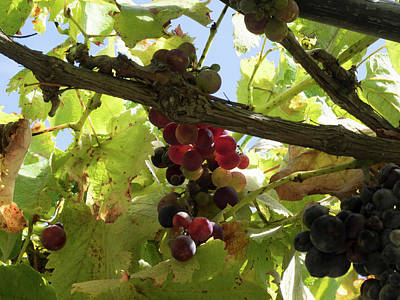 Hawkes Bay Photograph - Close-up Of Grapes On Vine, Black Barn by Panoramic Images
