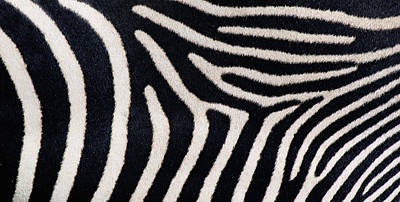 Close-up Of Greveys Zebra Stripes Art Print by Panoramic Images