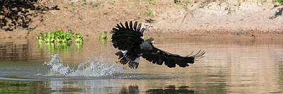 Flying Hawk Photograph - Close-up Of Hawk Fishing In River by Panoramic Images