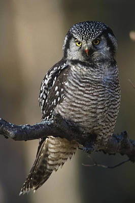 Close Up Of Hawk Owl Perched Art Print by Doug Lindstrand