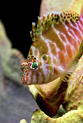 Undersea Photograph - Close-up Of Hawkfish (cirrhitidae by Jaynes Gallery
