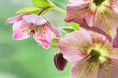 Hellebore Photograph - Close-up Of Hellebore Flowers And Bud by Jaynes Gallery