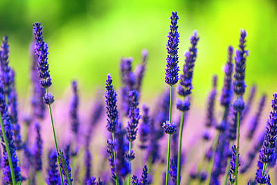 Photograph - Close-up Of Lavender Flowers In A Field by Spooh