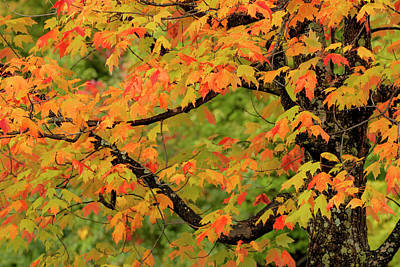 Northwoods Photograph - Close-up Of Maple Tree With Fall Color by Adam Jones