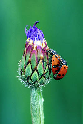 Close-up Of Mating Ladybugs Print by Jaynes Gallery