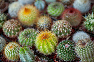 Multi Colored Photograph - Close-up Of Multi-colored Cacti by Panoramic Images