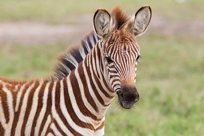 Close-up Of Newborn Zebra (equus Quagga Art Print