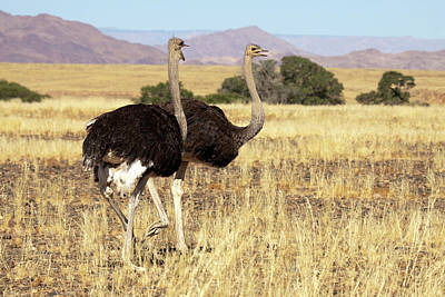 Ostrich Photograph - Close-up Of Ostrich (struthio Camelus by Jaynes Gallery