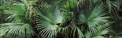 Close-up Of Palm Leaves, Joan M Art Print by Panoramic Images