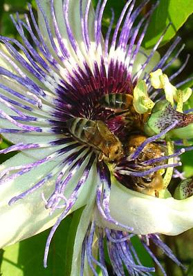 Photograph - Close Up Of Passion Flower With Honey Bee  by Tracey Harrington-Simpson