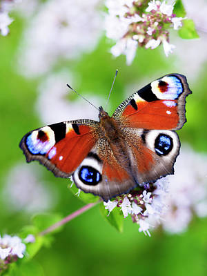 Photograph - Close-up Of Peacock Butterfly On Flowers by Johner Images