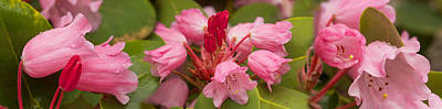 In Bloom Photograph - Close-up Of Pink Flowers In Bloom by Panoramic Images