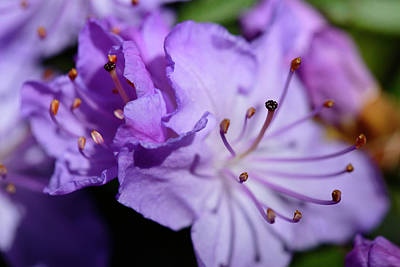 Close-up Of Purple Azalea (rhododendron Print by Matt Freedman