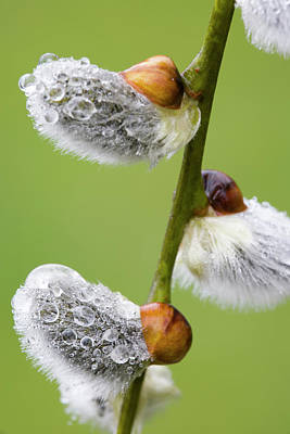 Pussy Willow Photograph - Close-up Of Rain Drops On Pussy Willows by Jaynes Gallery