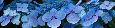 Close-up Of Raindrops On Blue Hydrangea Art Print by Panoramic Images