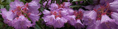 Close-up Of Raindrops On Purple Art Print by Panoramic Images