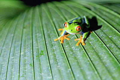 Photograph - Close Up Of Red Eyed Tree Frog, Costa by Matteo Colombo