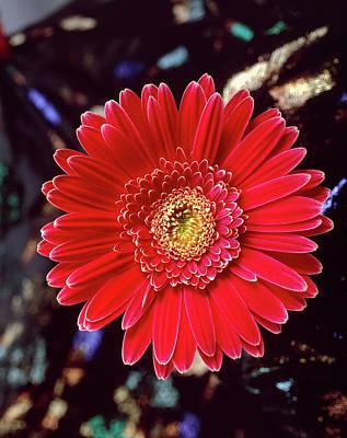 Gerbera Photograph - Close-up Of Red Gerbera Daisy by Panoramic Images