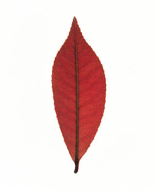 Close Up Of Red Leaf On White Art Print by Panoramic Images