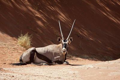 Namib Naukluft National Park Photograph - Close-up Of Resting Oryx (oryx Gazella by Jaynes Gallery