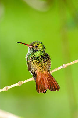 Rufous Wall Art - Photograph - Close-up Of Rufous-tailed Hummingbird by Panoramic Images