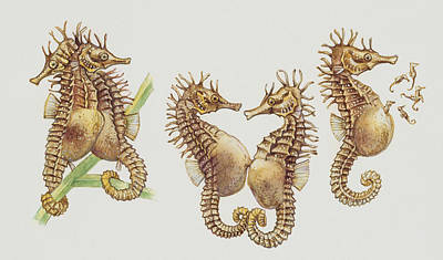 Fish Drawing - Close-up Of Sea Horses by English School