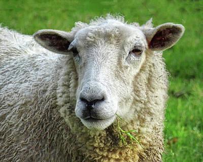 Close Up Of Sheep Art Print by Patricia Hamilton