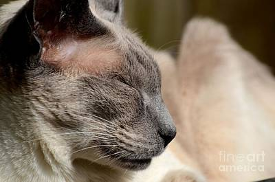 Photograph - Close-up Of Sleeping Siamese Cat by Imran Ahmed