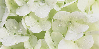 Flower In Rain Wall Art - Photograph - Close-up Of Snowball Bush Flowers by Panoramic Images