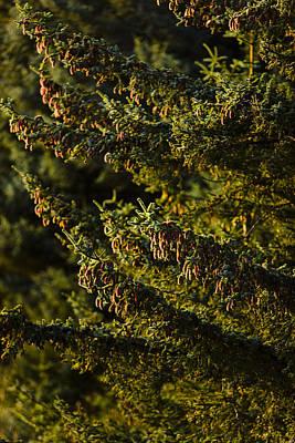 Close Up Of Spruce Tree, Autumn, Kodiak Art Print by Kevin Smith