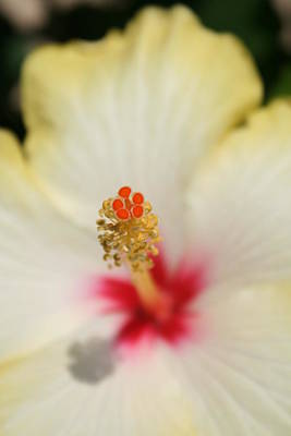 Photograph - Close Up Of Stamen And Pollen Yellow Hibiscus  by Tracey Harrington-Simpson