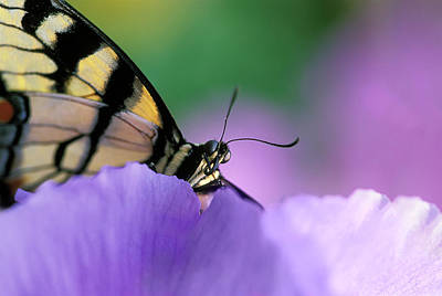 Butterfly Close Up Photograph - Close-up Of Swallowtail Butterfly by Jaynes Gallery