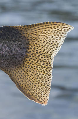 Close Up Of The Tail Of A Rainbow Trout Print by Greg Martin