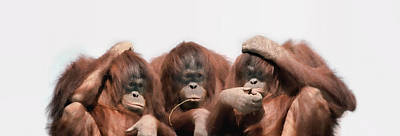 Hand On Head Photograph - Close-up Of Three Orangutans by Panoramic Images